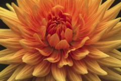 Orange Dahlia - Linda Kemp - HC