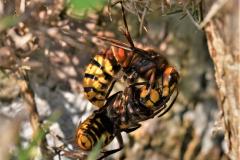 Hornet Hugs Shirley Swaine - HC
