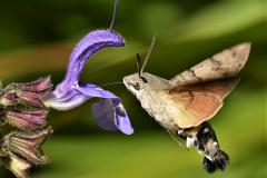Hummingbird Hawkmoth - Shirley Swaine - HC