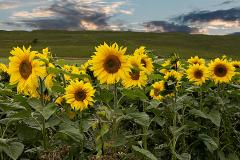 image-14-Sunflower Meadow